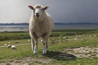 口を開けて鳴く羊と群れ