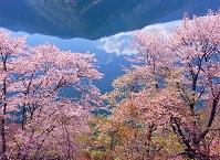 東京都 ヤマザクラと奥多摩湖に映る青空