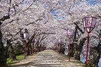 青森県 桜咲く弘前公園