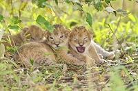 ケニア ライオンの赤ちゃん