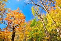 青森県 晩秋の奥入瀬渓流の紅葉