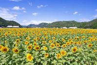 兵庫県 佐用町 ひまわり畑