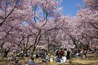 長野県 高遠城址公園・お花見