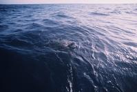 ガラパゴス諸島 呼吸のため海面に浮上したクロウミガメ