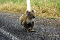 道路に出てきたコアラ グレートオーシャンロード オーストラリア