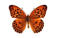 蝶 標本 クモガタヒョウモン 日本