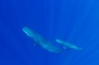 マッコウクジラの親子