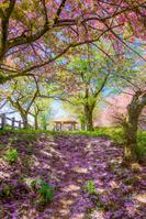 富山県 二上山 城山園地の桜