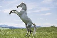 ジャンプする白馬