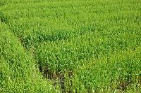 福岡県筑前町 小麦畑