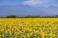山梨県 明野ひまわり畑