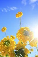 滋賀県 菜の花
