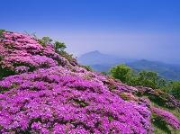 大分県 ミヤマキリシマ咲く鶴見岳より高崎山