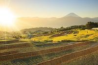 山梨県 朝の富士山と稲干す棚田