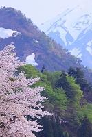山形県 小国町 小玉川地区 桜と雪山