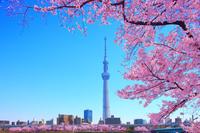 桜咲く隅田公園と東京スカイツリー