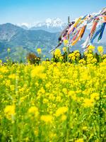 長野県 菜の花と穂高