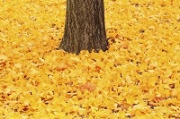 山形県 天童市 銀杏の落ち葉と幹