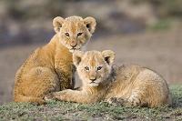 アフリカライオンの兄弟