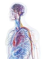 血液循環 動脈と静脈