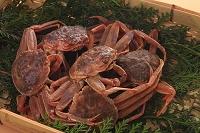 冬の味覚 せいこ蟹(ズワイガニのメス)