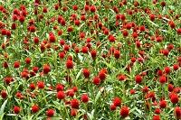 神戸フルーツ・フラワーパーク園内マリーゴールドの花