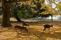 奈良県 秋の奈良公園
