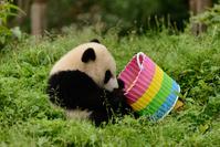 かごを遊ぶパンダ