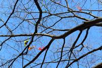 凧が絡んだ枝