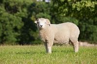 草地に立つ羊