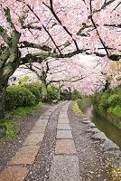 京都府 哲学の道 桜並木と水路沿いの遊歩道