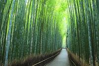 日本 京都府 朝の竹林の小径