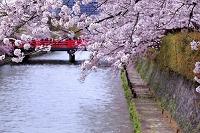 京都 岡崎疎水の桜