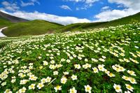 秋田県 仙北市 チングルマのお花畑が広がる秋田駒ヶ岳