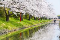 滋賀県 水郷めぐりと桜