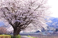 神奈川県 愛甲郡 田代の桜並木