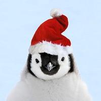 クリスマス帽を被ったコウテイペンギン