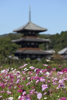 奈良県 コスモス咲く斑鳩の里と法起寺三重塔