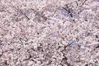 埼玉県 一面の桜