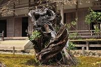 京都府 常照皇寺 初代御車返しの桜の切り株と方丈