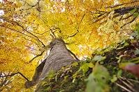 青森県 白神山地のブナ林