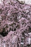 春爛漫の桜