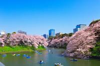 東京都 千鳥ヶ淵の満開の桜