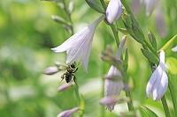 ギボウシと蜂