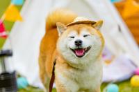 キャンプ中の豆柴犬