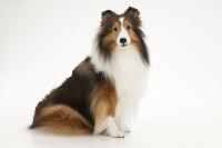 シェットランドシープドッグ 横を向いてお座りをしている犬
