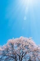 日ざしが注ぐ桜の木