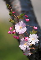 サクラ 花と蕾