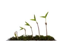5本の豆の新芽