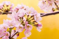 金バックの桜の枝